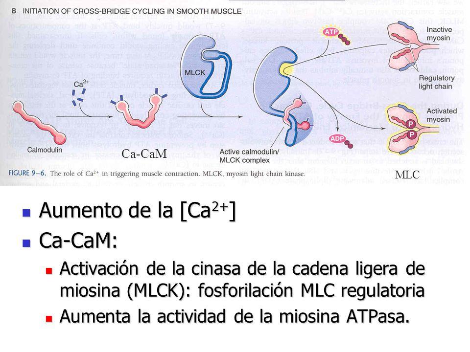 Aumento de la [Ca2+] Ca-CaM: